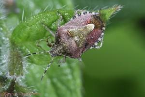 15244-Sloe-Shield-Bug